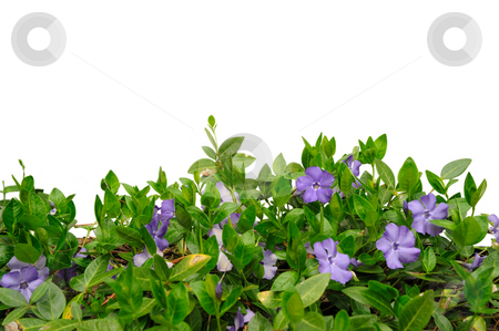 Periwinkle Flower stock photo, Purple periwinkle flower and plant (Vinca minor) against a white background. by Lynn Bendickson