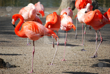 Flamingos stock photo,  by Sarka