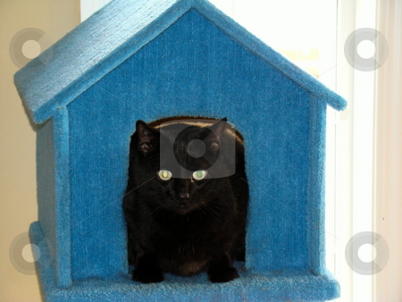 Black Cat In The House stock photo, Cute Black cat sitting in her house by CHERYL LAFOND