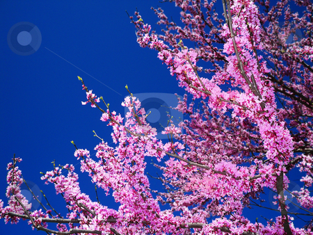 Beautiful Redbud stock photo, Redbud trees bloom in the spring after the pear trees and before the dogwoods, giving a burst of vibrant color against the blue spring sky by Sandra Fann