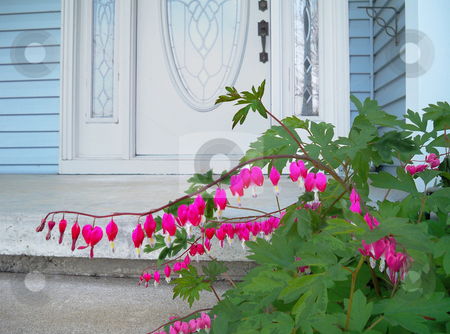 Bleeding Heart stock photo, Bleeding hear flowers planted beside the front door welcome the family home and greet visitors with brignt pink heart shaped blossoms by Sandra Fann