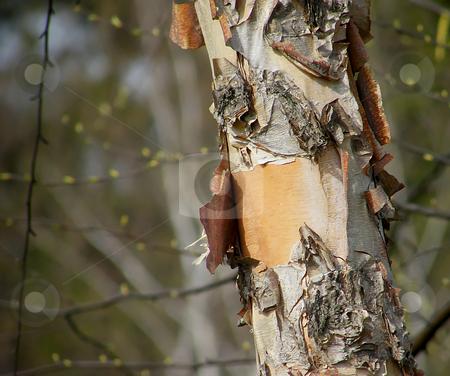 Birch Tree Trunk with Peeling Bark stock photo, Birch Tree Trunk with Peeling Bark (close up) by Dazz Lee Photography
