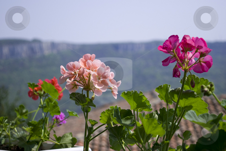 Flowers on a balcony stock photo, Pelargonium flowers on a balcony with distance house and nature view by Desislava Dimitrova