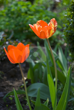 Tulips stock photo, Red tulips in green garden by Desislava Dimitrova
