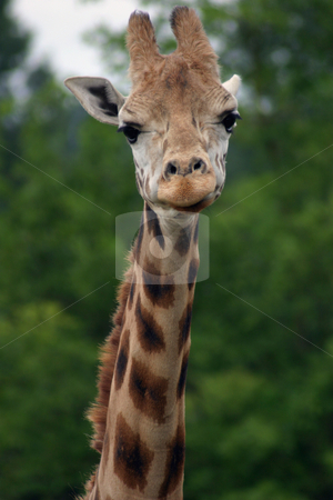 Giraffe Portrait stock photo, Portrait of a giraffe, from the lower neck up. by Rick Parsons