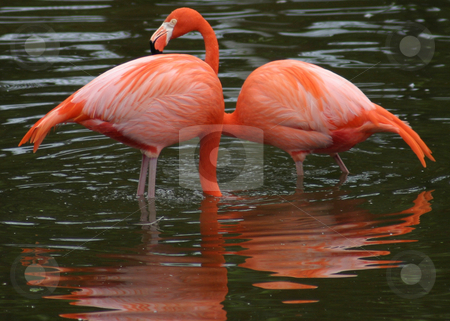 A Pair, in Pink stock photo, Two Pink Flamingos in the water. by Rick Parsons