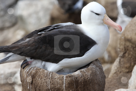 Black Browed Albatross Sitting on Nest with Chick stock photo,  by Chris Budd