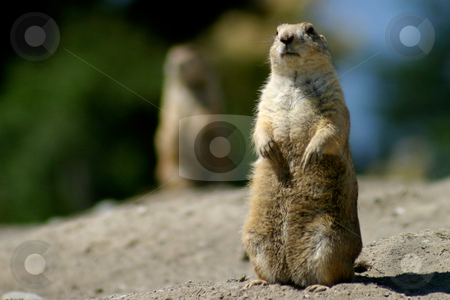 On Alert stock photo, Prairie Dog with mate in the background, on alert. by Rick Parsons