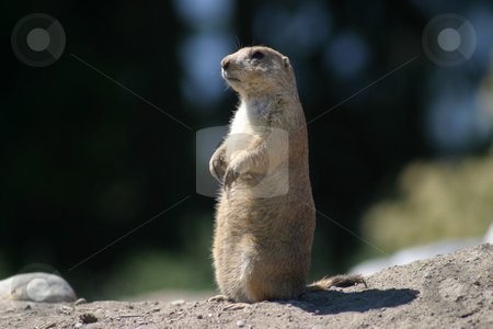 Lone Prairie Dog stock photo, Lone Prairie Dog on hind legs.  Something in the distance has his attention. by Rick Parsons
