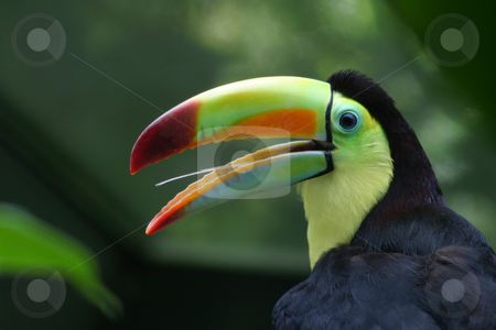 Toucan Profile stock photo, Profile of a Toucan, close-up with nice colours. by Rick Parsons