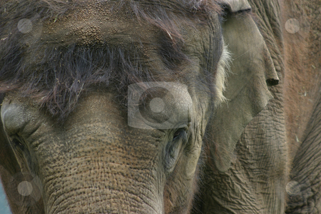 Portrait of an Indian Elephant stock photo, Indian Elephant, close-up portrait by Rick Parsons
