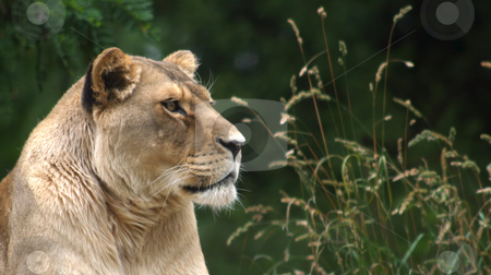 Lioness stock photo, Lioness looking out over the land. by Rick Parsons