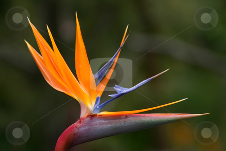Bird of Paradise stock photo, Close-up view of a Bird of Paradise flower.  Sharp detail and vibrant colours. by Rick Parsons