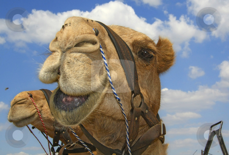 Smiling camel stock photo, A camel looking at the camera,
