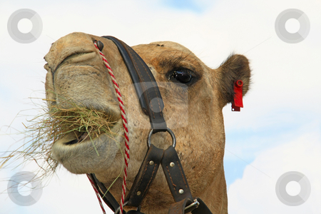 Camel eating grass stock photo, Camel eating grass by Chris Alleaume