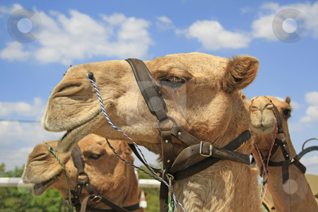 Profile of a camel stock photo, Profile of a camel by Chris Alleaume