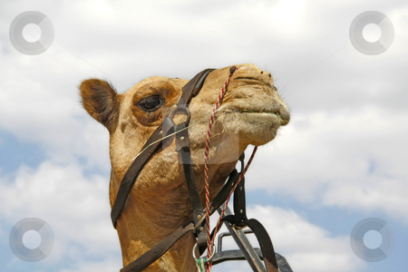 Majestic camel stock photo, A camel looking majestic against the sky by Chris Alleaume