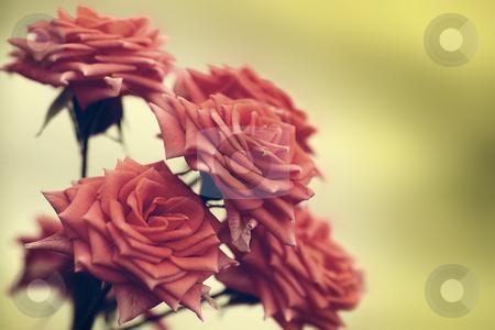 Rose for you stock photo,  by Tomo Photography