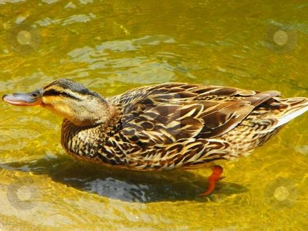 A female mallard stock photo, A female mallard swiming in a pond by Robert Brown