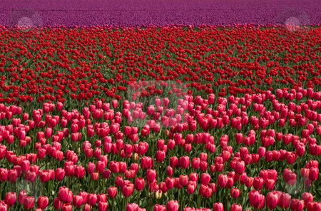 Field of Tulips stock photo, A field of bright pink, red and purple tulips at the Skagit Valley Tulip Festival. by Rick Parsons