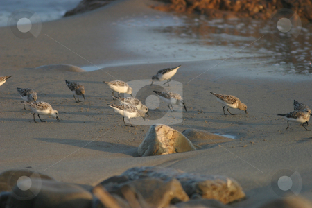 Beach Birds II stock photo, Beach birds searching for a meal along the sandy shores. by Rick Parsons