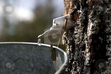 Liquid Sugar 1 stock photo, A drop of maple sap about to fall off the end of a spout into a bucket, hung on a maple tree. by Rick Parsons
