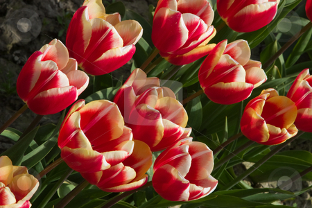 Orange & Red Tulips stock photo, Multi-colored tulips at the Skagit Valley Tulip Festival. by Rick Parsons