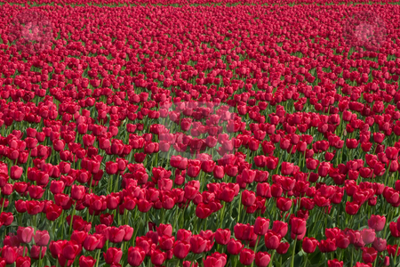Red Tulips stock photo, Hundreds of red tulips in a field at the Skagit Valley Tulip Festival. by Rick Parsons