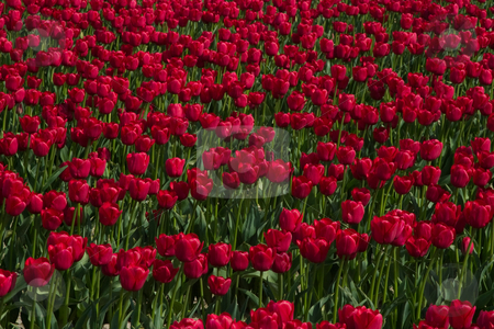 Field of Red stock photo, A field of red tulips at the Skagit Valley Tulip Festival. by Rick Parsons