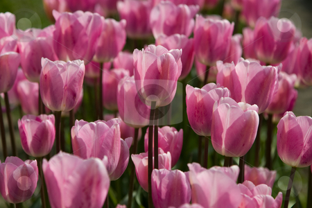 Pink Tulips stock photo, Close-up of a group of pink tulips at the Skagit Valley Tulip Festival. by Rick Parsons
