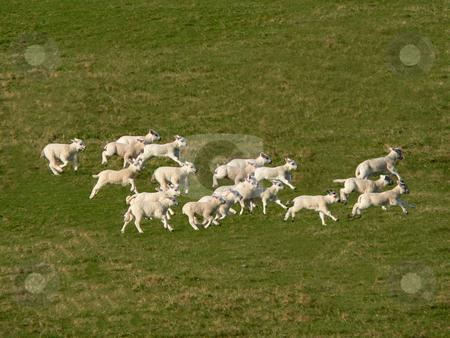 Running lambs stock photo, Lambs running as a pack across green grass by Casinozack