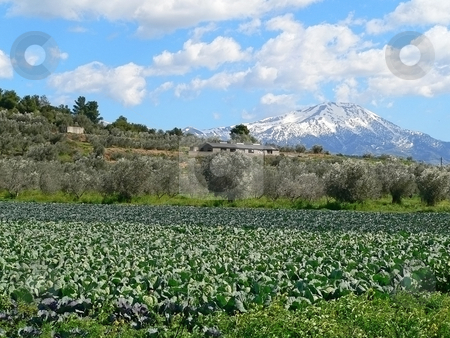 Cabbage mountain stock photo, Cabbage field with a snow capped mountain in the background on the island of evia in greece by Casinozack