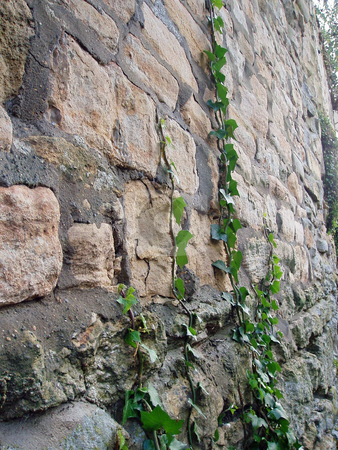 Old stone wall with vines     stock photo, Old stone wall with vines in England by Jaime Pharr