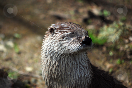 Otter stock photo, Picture of an otter in Prague zoo by Sarka