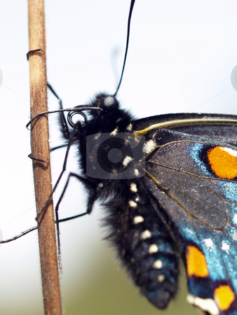 Closeup of black butterfly on stick outdoors stock photo, Black butterfly outdoors on stick closeup orange and blue wings by Jeff Cleveland