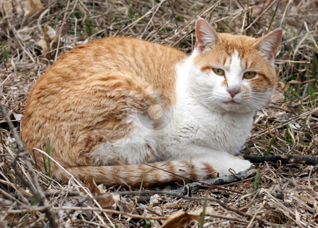 Feral Cat stock photo, A wild feral cat, outside by Tom and Beth Pulsipher