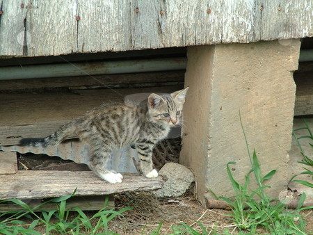 Tiger Kitten stock photo, This feral (semi-wild), barn kitten is arching its back, showing that the kitten is feeling threatened. by Krystal McCammon