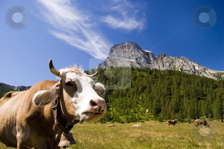 Alpe Veglia mountain pasture stock photo, Cow in Alpe Veglia italian natural park and Monte Leone in background, Piemonte, Italy by Roberto Marinello