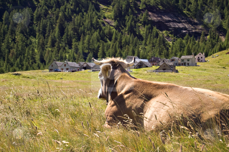 Alpe Veglia mountain pasture stock photo, Cow in Alpe Veglia italian natural park, Piemonte, Italy by Roberto Marinello
