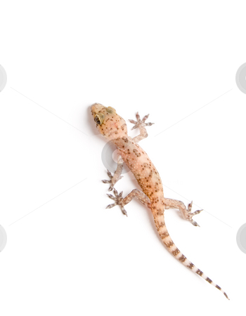 Gecko stock photo, Studio shot of gecko over white background by iodrakon