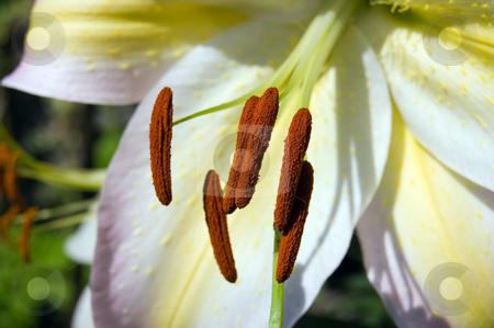 Golden rayed lily stock photo, Stamen detail of a golden rayed lily (Lilium auratum) by Roberto Marinello