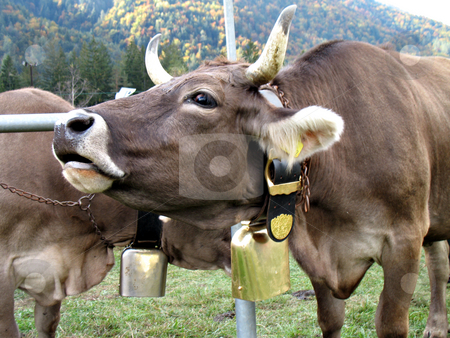 Cow moo stock photo, Moo of a cow. Cattle fair in Val Vigezzo, VB, Italy by Roberto Marinello