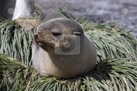 Antarctic Fur Seal stock photo,  by Chris Budd