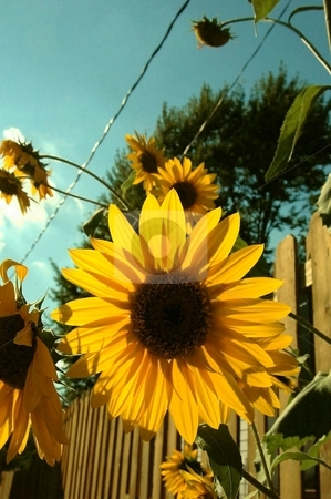 Sunflower stock photo, This is a great pic with the sun as  backlighting. by Joe Shortridge