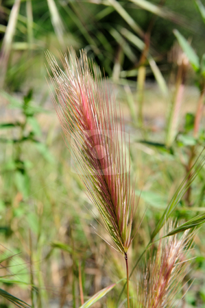 Red Colored Wild Grass Seeds stock photo, Mature wild grass seeds with a red  tint to the seed stalk, also a small transparent insect when viewed at full resolution. by Lynn Bendickson