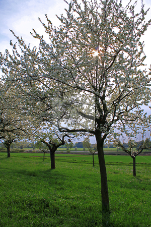 Spring meadow with flowering apple trees stock photo, Spring meadow with flowering apple trees in Frankfurt Main, Germany;
