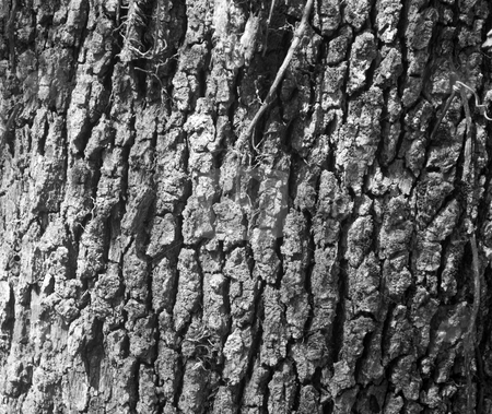 Oak tree bark texture stock photo, Oak tree bark as a textured backgroung by Robert Cabrera