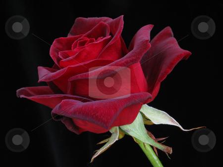 Red Rose on Black stock photo, Single red rose on plain black background by Helen Shorey