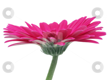 Hot Pink Gerbera Side View stock photo, Very pink gerbera daisy isolated on white by Helen Shorey