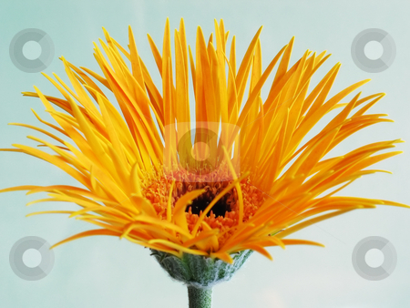 Yellow gerbera stock photo, Unusual thin petals on a gerbera daisy by Helen Shorey